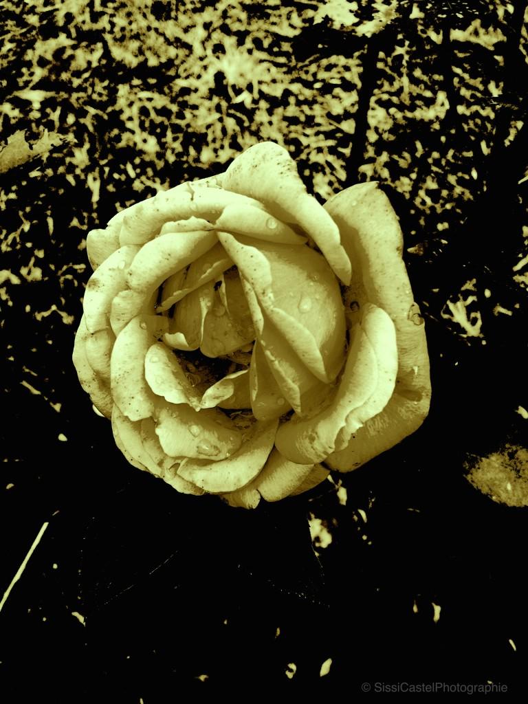rosa 5