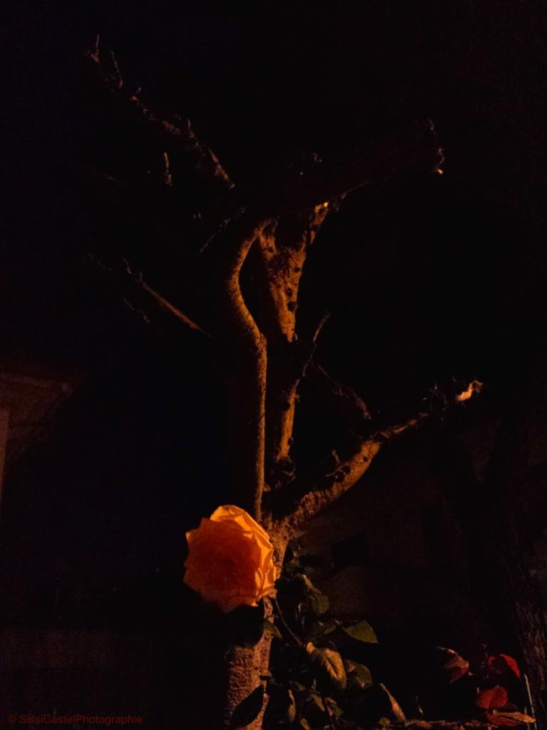 Mi piace la notte, le rose, di notte