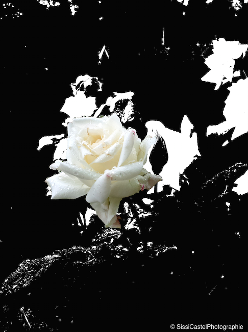Rosa n.2 - Silvia Castellani