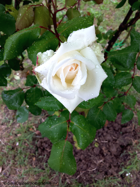 Rosa n.7 - Silvia Castellani