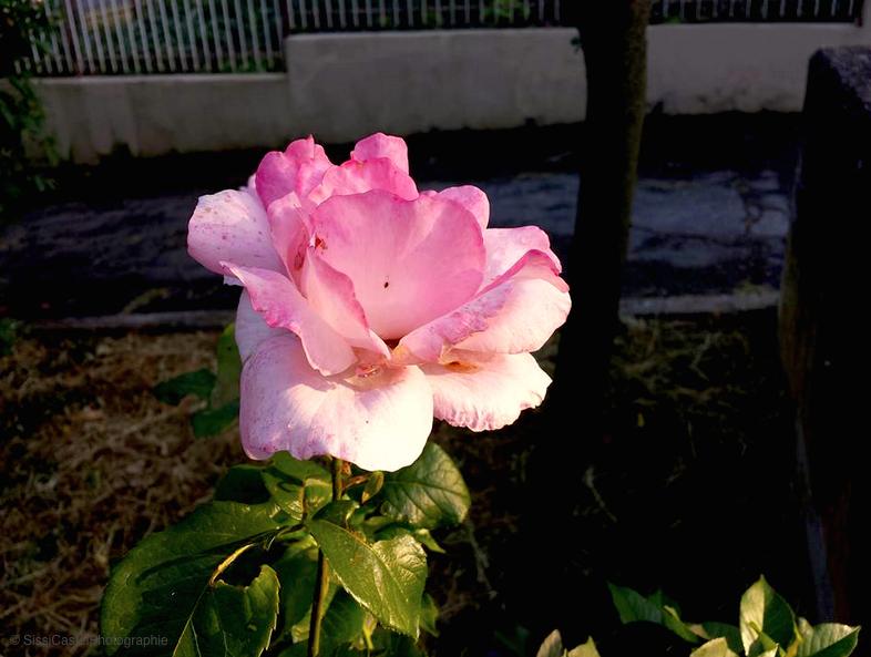 voglia di rose