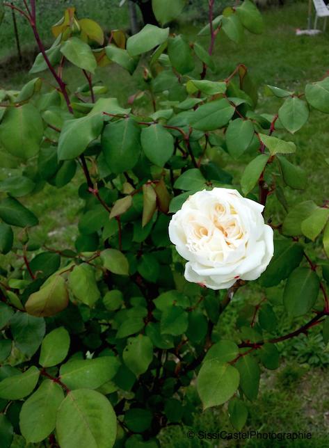 rosa n.13 - silvia castellani