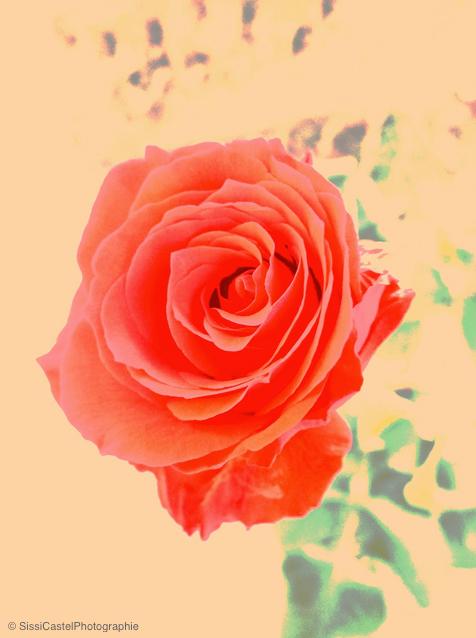rosa n.9 - la grazia