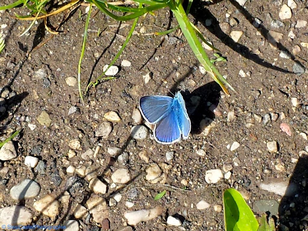 Ali azzurre