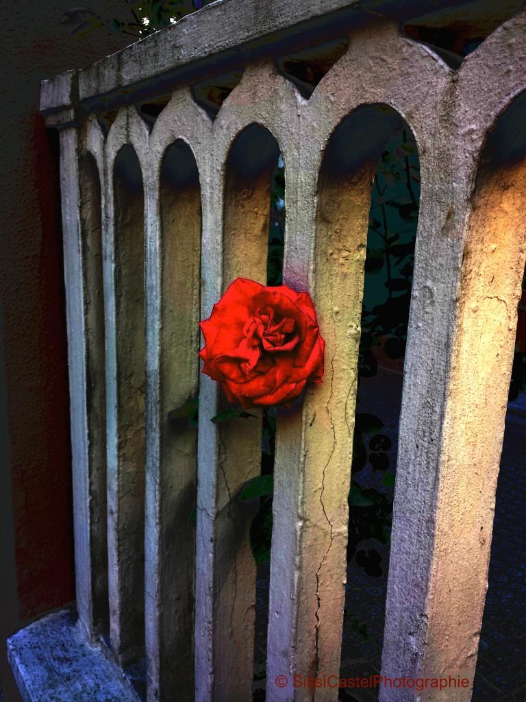 Rosa per Santi Arcangeli