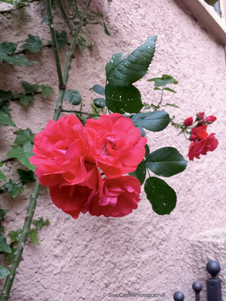 Rosa n.22 - Rosarium