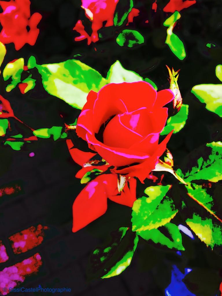 Rosa n.91 - Rosarium