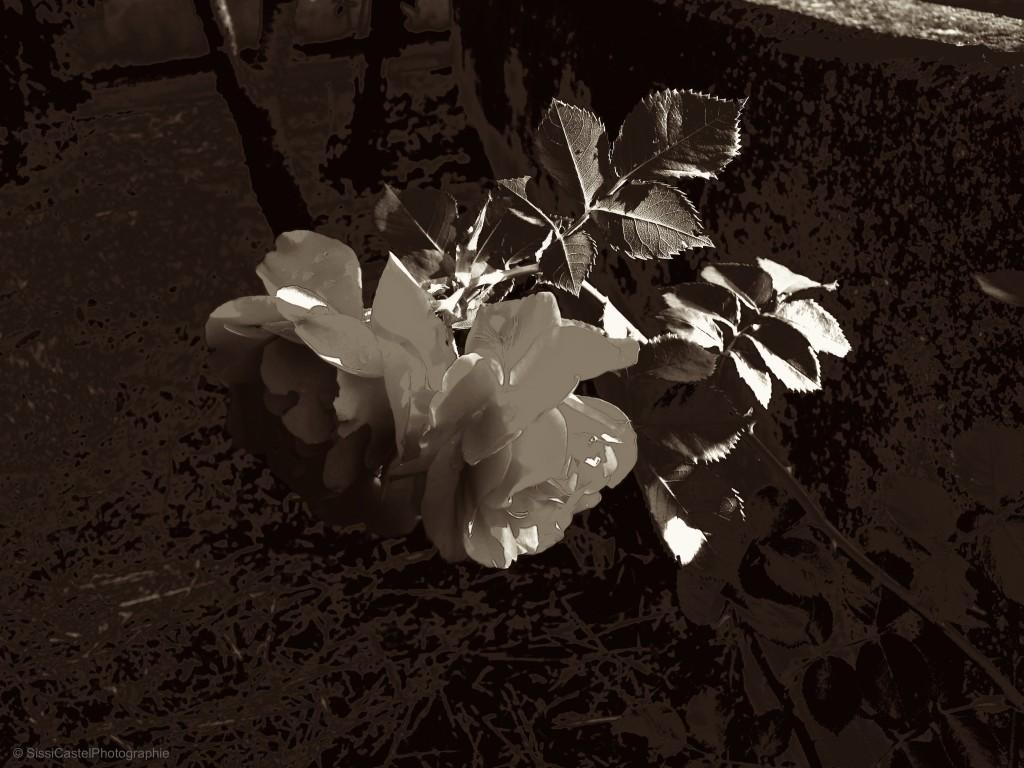 rosa seppia - foto sc